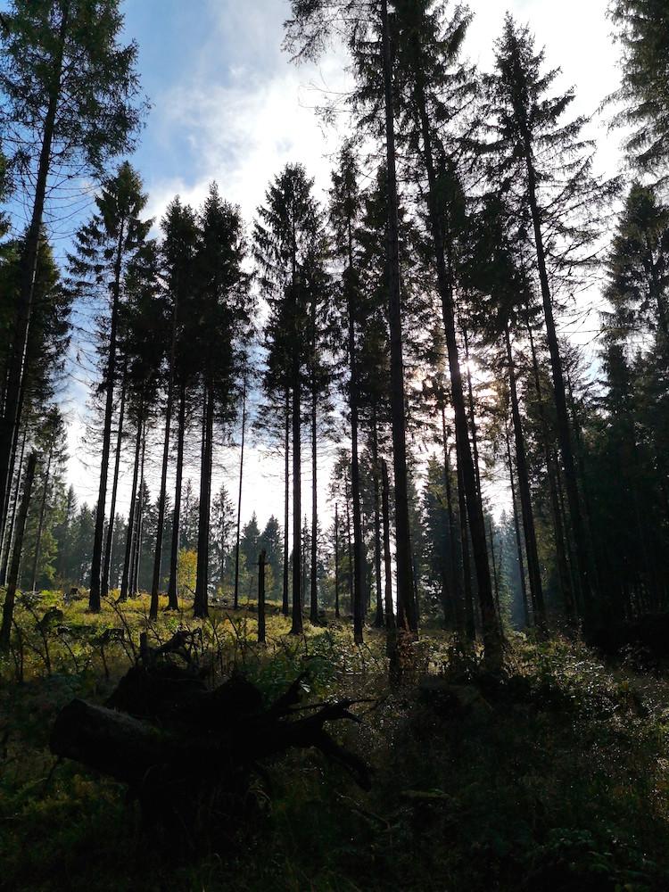 Harz im Wald