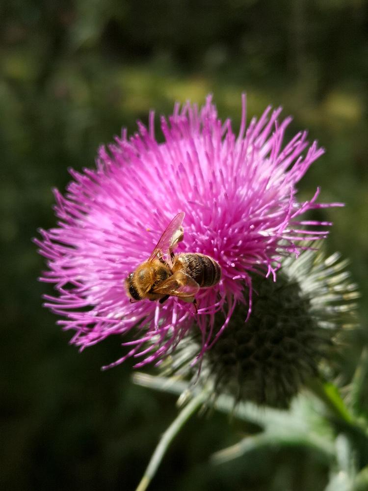 Biene auf einer Distel