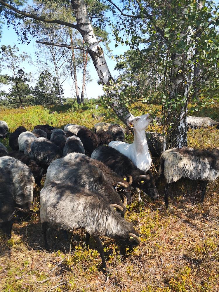 Nicht nur Schafe, auch Ziegen