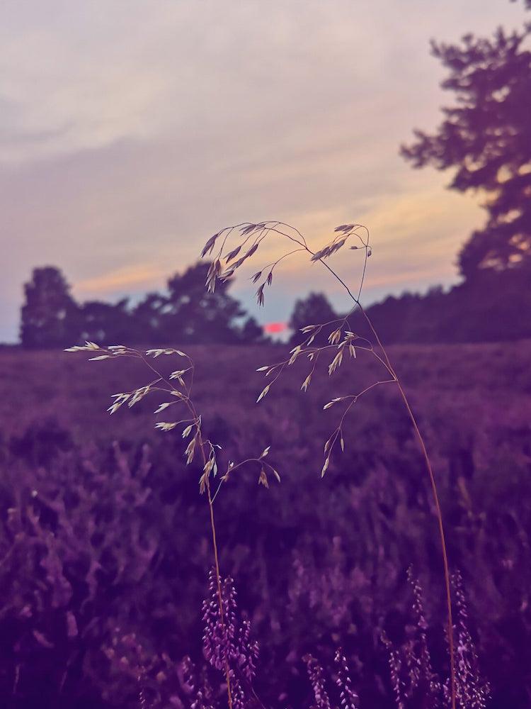 Zum Sonnenuntergang in der Heide